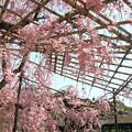 Photos: IMG_3320平安神宮・東神苑・八重紅枝垂桜