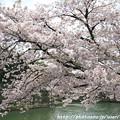 Photos: IMG_3356琵琶湖疎水・染井吉野