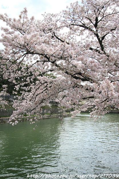 IMG_3358琵琶湖疎水・染井吉野