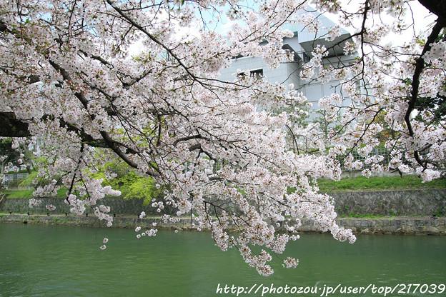 IMG_3360琵琶湖疎水・染井吉野