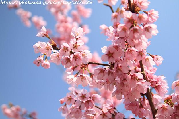 IMG_3459本郷・桜