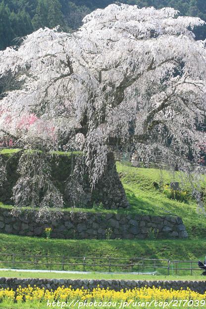 IMG_3532本郷・又兵衛桜と菜の花