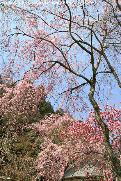 IMG_3600大野寺・紅枝垂桜と紫木蓮