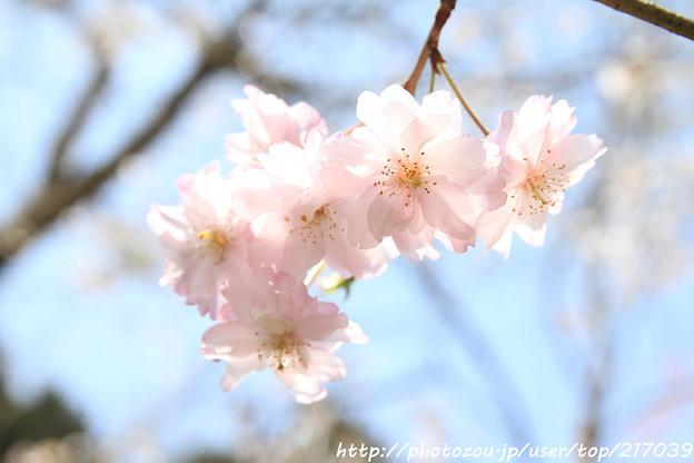 IMG_3623大野寺・枝垂桜