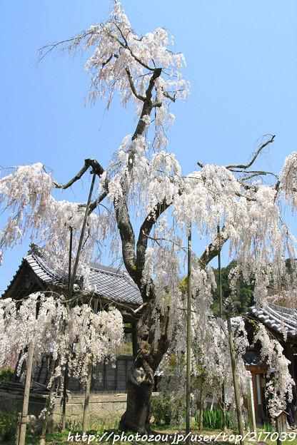 IMG_3635大野寺・小糸枝垂桜