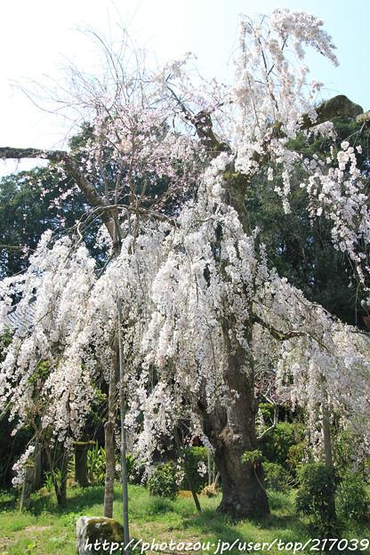 IMG_3640大野寺・小糸枝垂桜