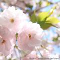 IMG_3692千本ゑんま堂(引接寺)・普賢象桜