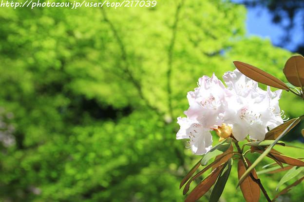 IMG_4209岡寺・石楠花と新緑