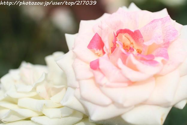 IMG_4747薔薇(グレーシーアレン)
