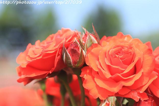 IMG_4788薔薇(オリンピック・ファイヤー)