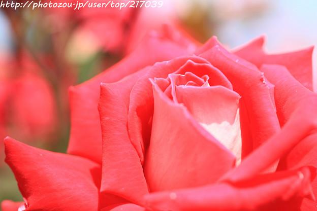 IMG_4847薔薇(ラブ)