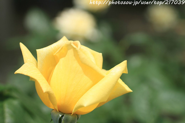 IMG_4964薔薇(天津乙女)