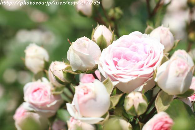 IMG_4995薔薇(ハナグルマ)