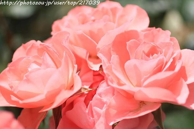 IMG_5005薔薇(ジャルダン ドゥ フランス)