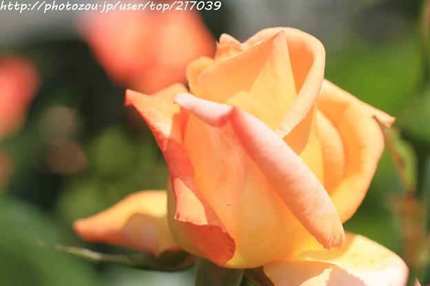 IMG_5022薔薇(フロージン'82)