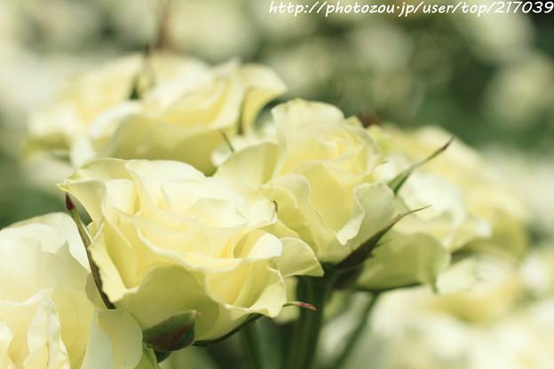 IMG_5028薔薇(緑光)