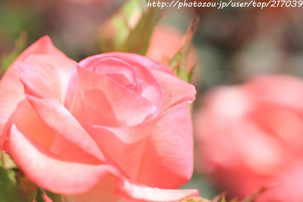 IMG_5035薔薇(ジェミニ)