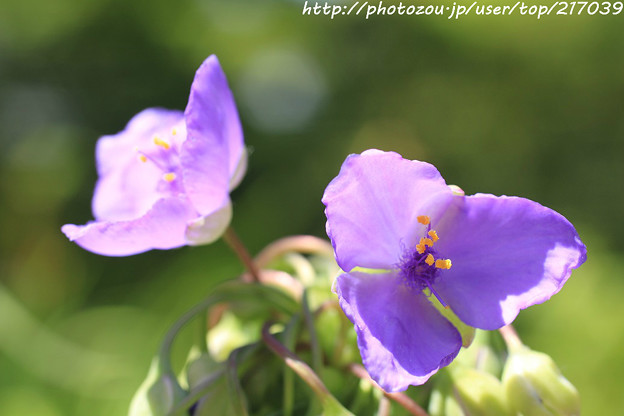 IMG_5165紫露草