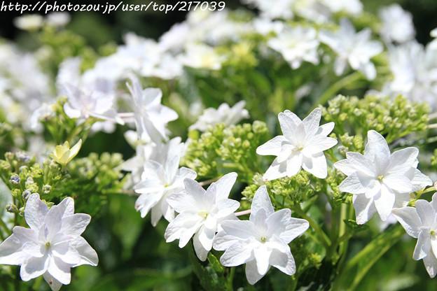 IMG_5432矢田寺・紫陽花(隅田の花火)