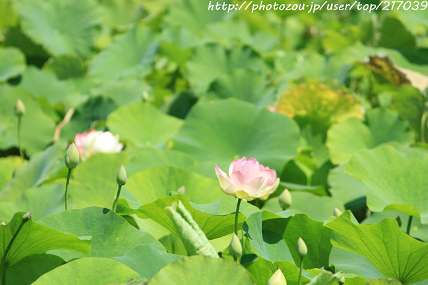 IMG_5550日本庭園・はす池・蓮