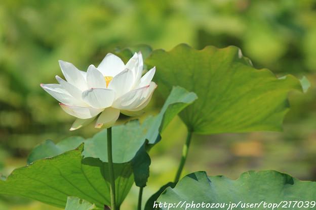 IMG_5554日本庭園・はす池・蓮