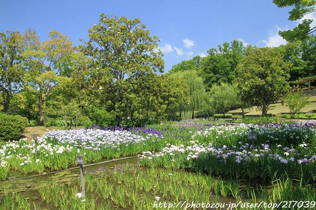IMG_5600日本庭園・花しょうぶ田・花菖蒲