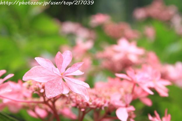 IMG_5918あじさい園・額紫陽花