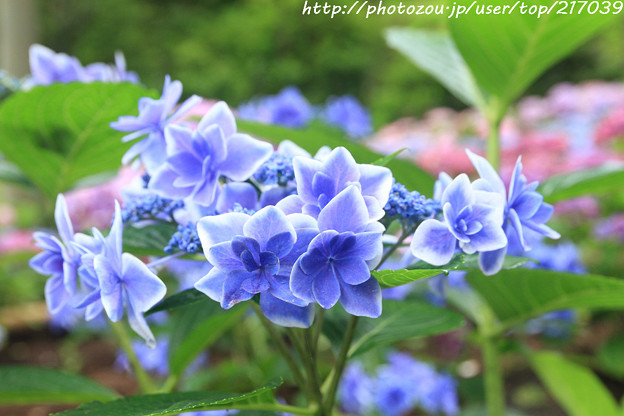 IMG_5943あじさい園・額紫陽花(金平糖)