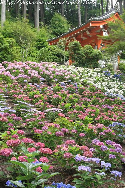 IMG_5950あじさい園・紫陽花と山門