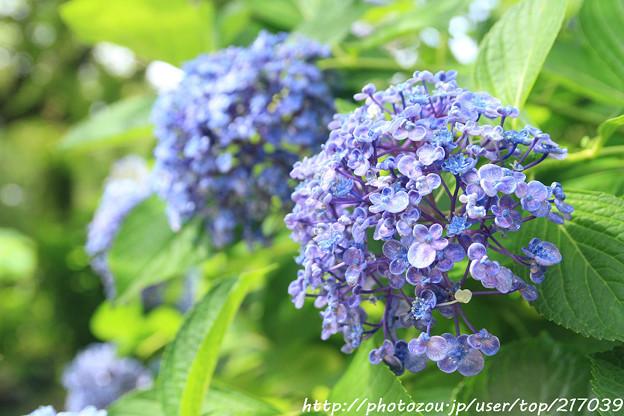 IMG_5981紫陽花