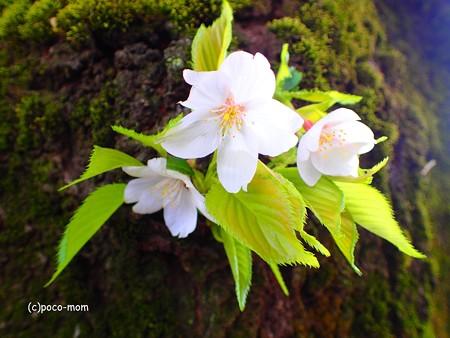 胴咲桜 P4122395