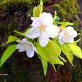 写真: 胴咲桜 P4122395
