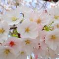 写真: 桜 P4122398