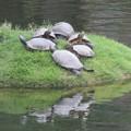 写真: 縮景園のミドリガメ IMG_1119