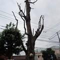 写真: サルノコシカケ P8031272