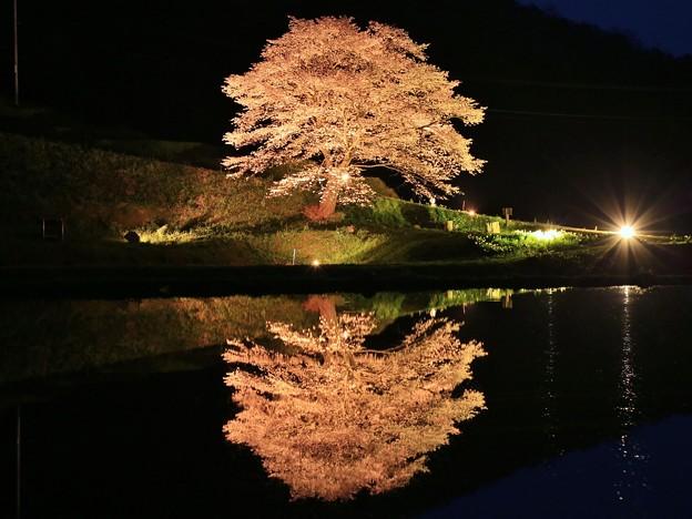 井川一本桜