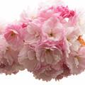 豪華な八重咲き桜