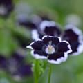 溢れるばかりの妖しい黒い花
