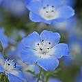 爽やかな青い花