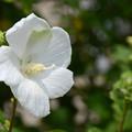 槿花朝咲(むくげのはなあさにさく)