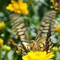 キアゲハ蝶4