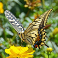 キアゲハ蝶3