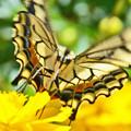 キアゲハ蝶2