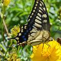 キアゲハ蝶1