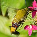 ペンタスの蜜をすうオオスカシバ