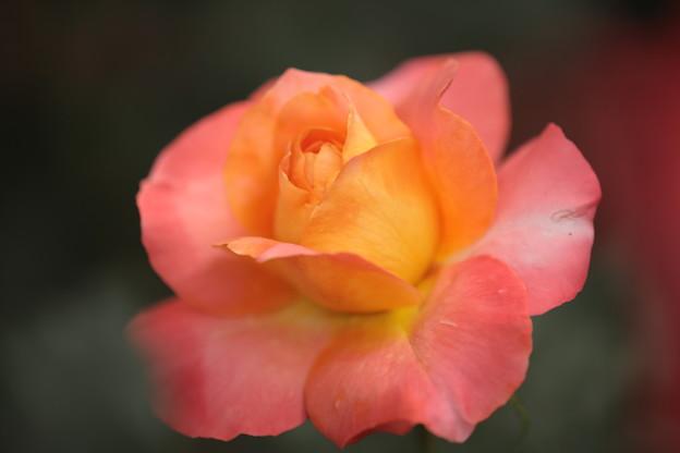 BZ花壇のバラ