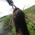 写真: 鯰