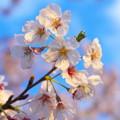写真: 夕暮れ桜