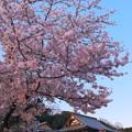来見寺と桜
