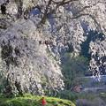 写真: 地蔵桜